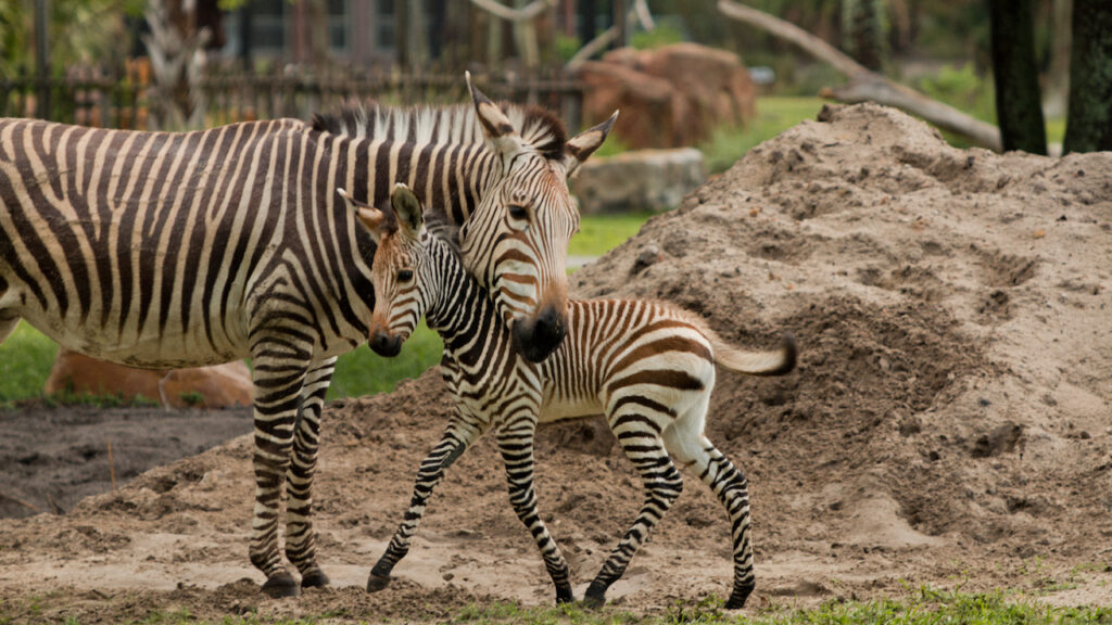 Meet Phoenix, the Zebra Foal Born at Disney's Animal Kingdom Lodge